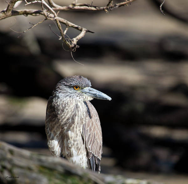 Photograph - Juvenile Black Crowned Night Heron by Michelle Constantine