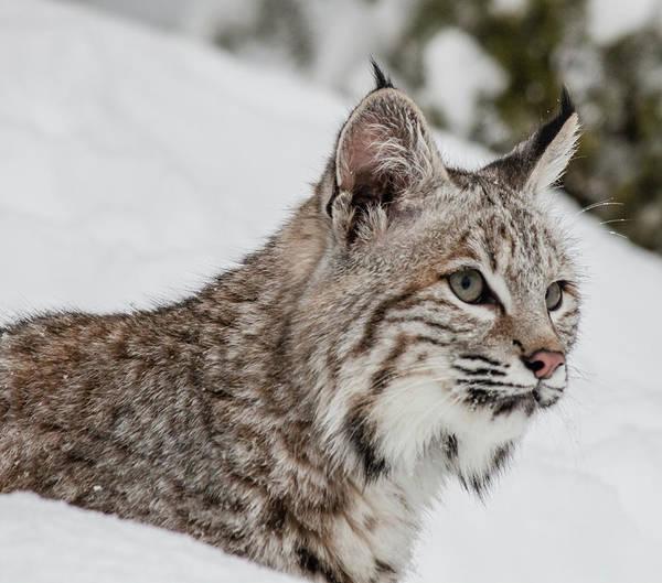 Photograph - Juvenile Bobcat 168 by Teresa Wilson