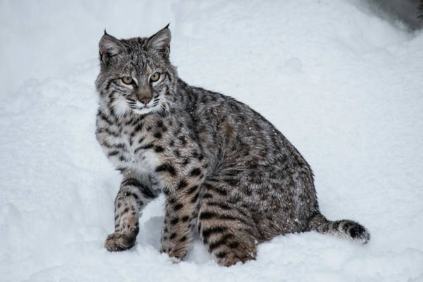 Photograph - Juvenile Bobcat 8711 by Teresa Wilson