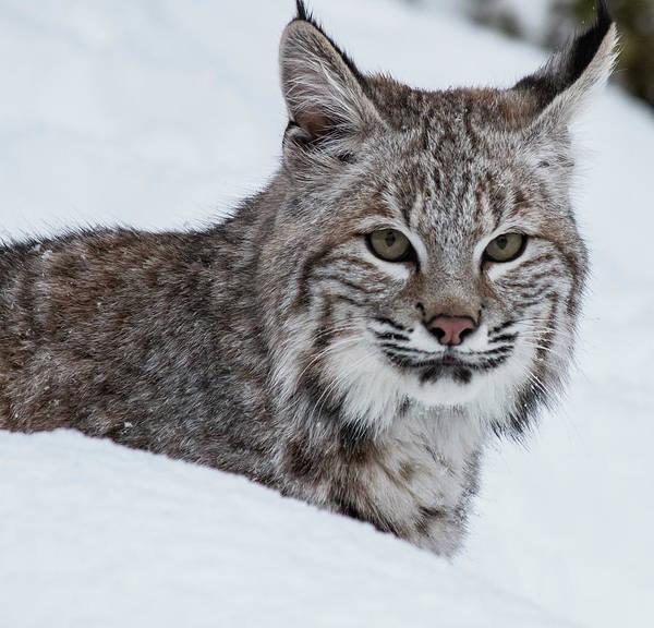 Photograph - Juvenile Bobcat by Teresa Wilson