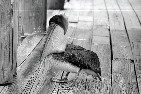 Photograph - Juvenile Brown Pelican Tale 2 by Cynthia Guinn