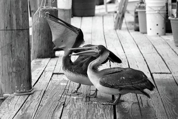 Photograph - Juvenile Brown Pelican Tale 3 by Cynthia Guinn