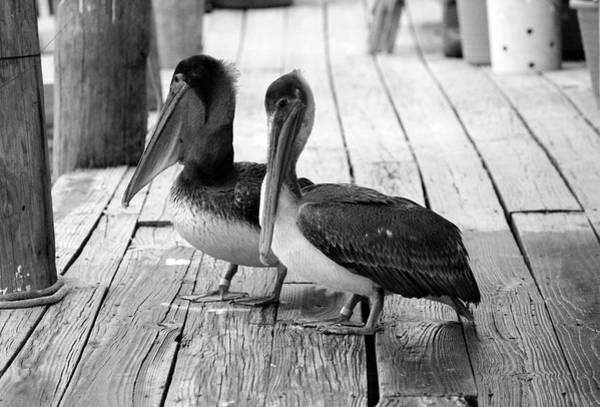 Photograph - Juvenile Brown Pelican Tale 4 by Cynthia Guinn