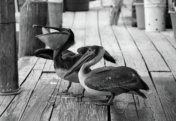 Photograph - Juvenile Brown Pelican Tale 5 by Cynthia Guinn