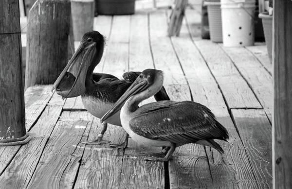 Photograph - Juvenile Brown Pelican Tale 6 by Cynthia Guinn
