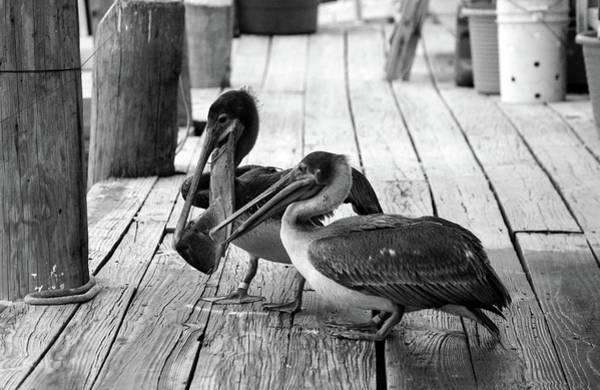 Photograph - Juvenile Brown Pelican Tale 7 by Cynthia Guinn