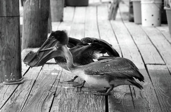 Photograph - Juvenile Brown Pelican Tale 8 by Cynthia Guinn