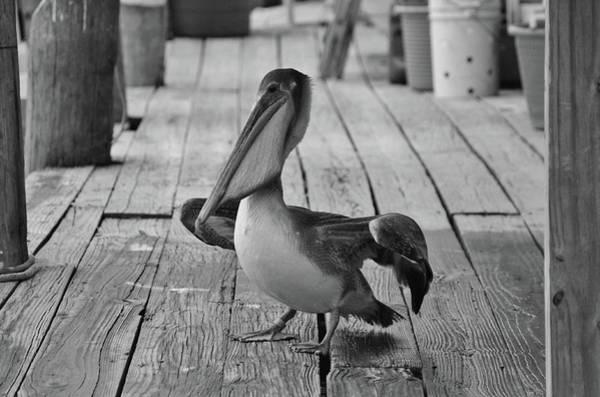 Photograph - Juvenile Brown Pelican Tale 9 by Cynthia Guinn