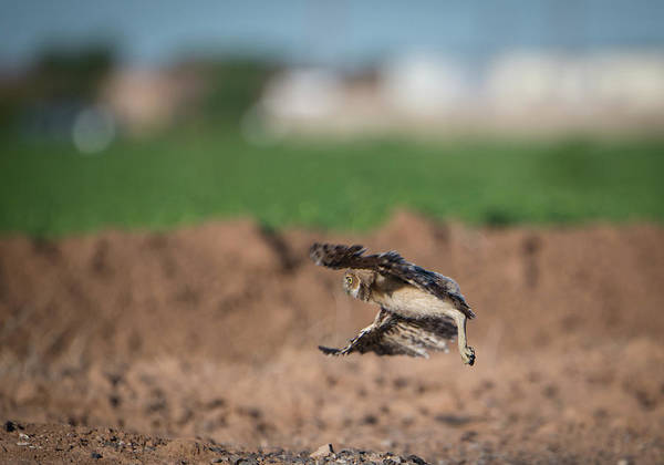 Photograph - Juvenile Burrowing Owl Testing Out His Wings by Gloria Anderson
