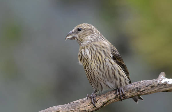 Crossbill Photograph - Juvenile Common Crossbill by Perry Van Munster