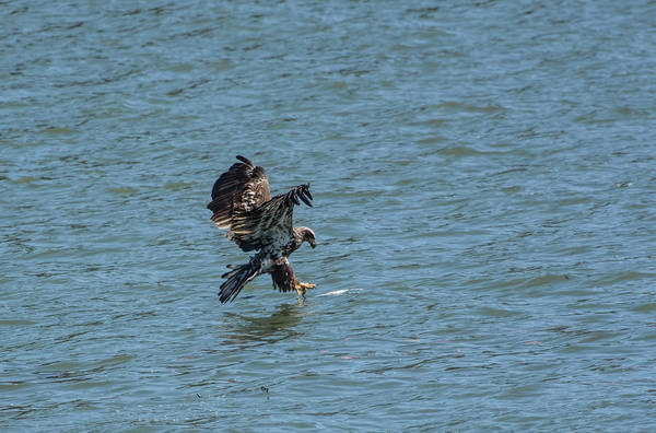 Photograph - Juvenile Eagle Fishing Pickwick Lake Tennessee 031620161312 by WildBird Photographs
