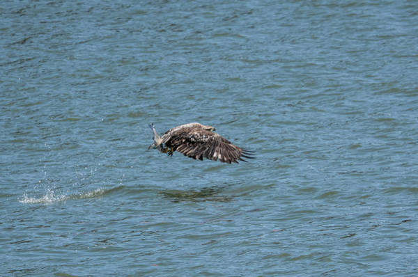 Photograph - Juvenile Eagle Fishing Pickwick Lake Tennessee 031620161315 by WildBird Photographs