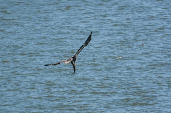 Photograph - Juvenile Eagle Fishing Pickwick Lake Tennessee 031620161330 by WildBird Photographs