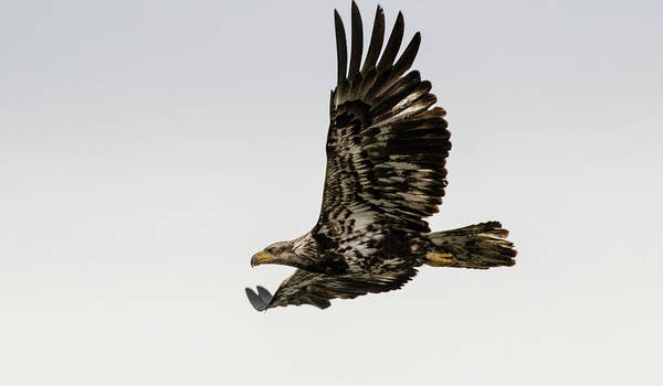 Photograph - Juvenile Eagle Flying by Gloria Anderson