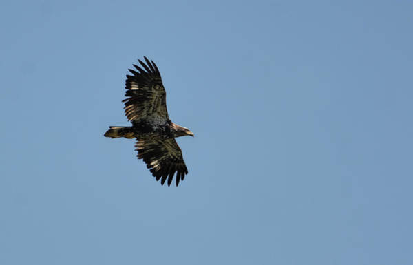 Photograph - Juvenile Eagle Flying Over Pickwick Lake Tennessee 031620161269 by WildBird Photographs