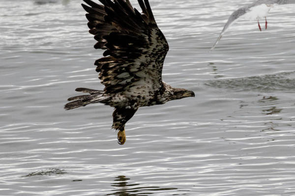 Photograph - Juvenile Eagle Skimming The Water by Gloria Anderson