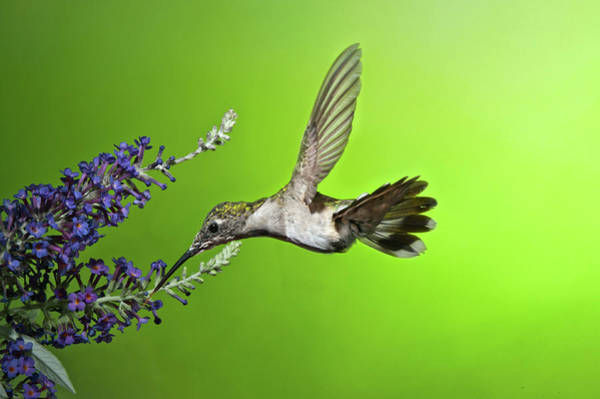 Photograph - Juvenile Female Hummingbird On Butterfly Bush by Lara Ellis
