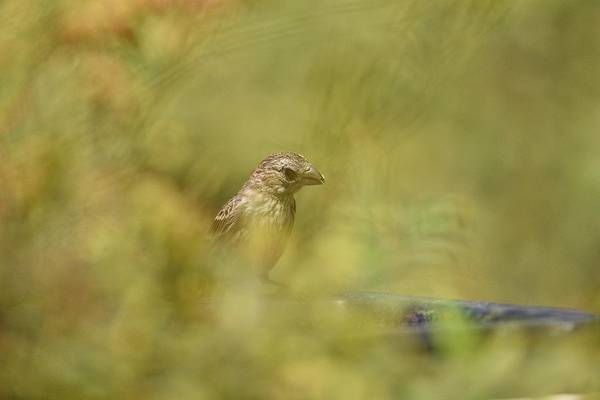 House Finch Photograph - Juvenile Finch Through The Brush by Linda Brody