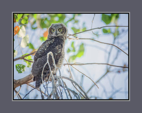 Photograph - Juvenile Great Horned Owl 0460-051318-1cr-matte by Tam Ryan