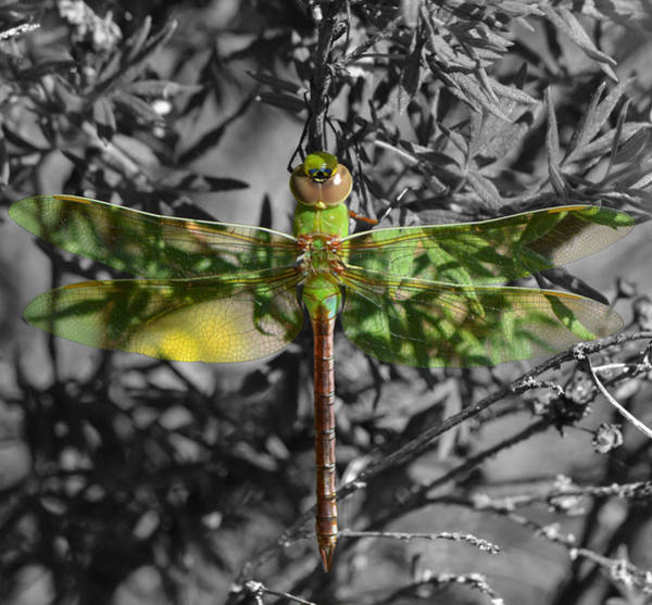 Pyrography - Juvenile Green Darner by Sally Sperry