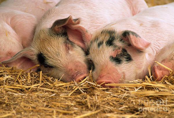 Pigpens Photograph - Juvenile Hogs by Inga Spence