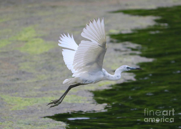 Little Blue Heron Photograph - Juvenile Little Blue Heron In Flight by Carol Groenen