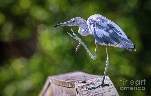 Photograph - Juvenile Little Blue Heron by Tom Claud