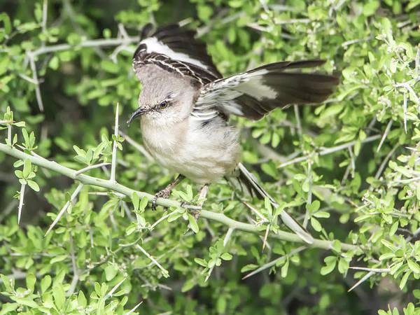 Crossbill Photograph - Juvenile Mockingbird With Crossbill by Tam Ryan