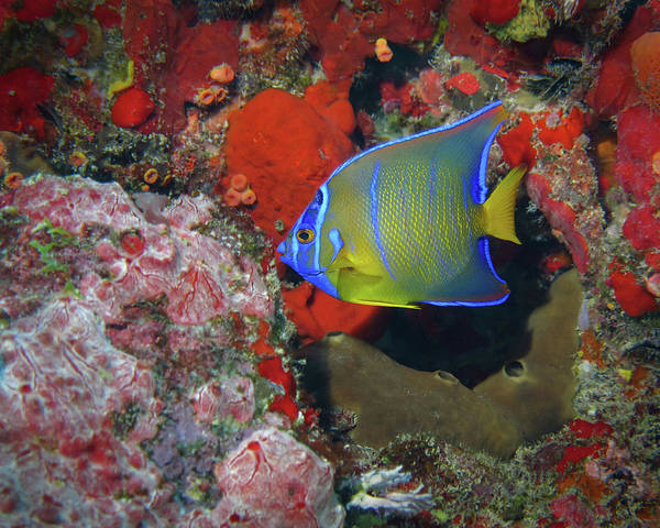 Photograph - Juvenile Queen Angelfish, U. S. Virgin Islands 2 by Pauline Walsh Jacobson