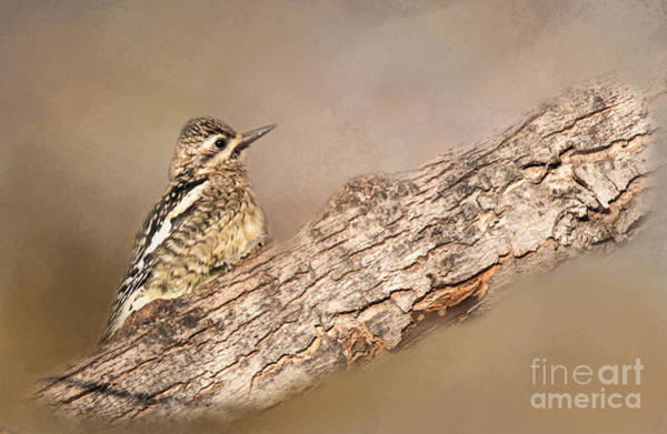 Photograph - Yellow-bellied Sapsucker by Pam  Holdsworth