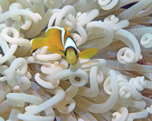 Photograph - Juvenile Red Sea Clownfish, Eilat, Israel 3 by Pauline Walsh Jacobson