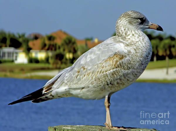 Photograph - Juvenile Ring Billed Gull by D Hackett