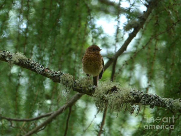Photograph - Juvenile Robin by Phil Banks