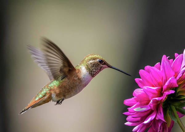 Wall Art - Photograph - Juvenile Rufous Hummingbird And Pink Dahlia by Dawn Key