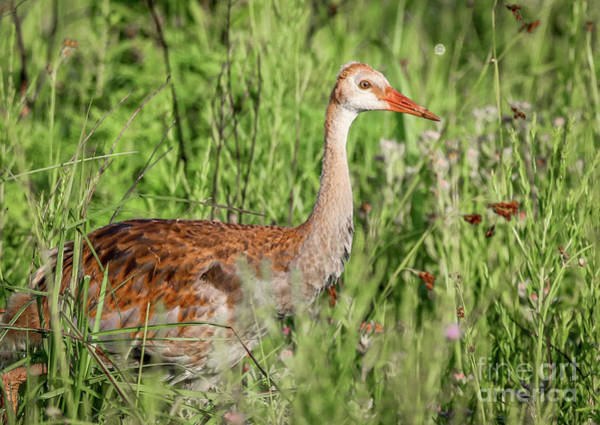 Photograph - Juvenile Sandhill by Tom Claud