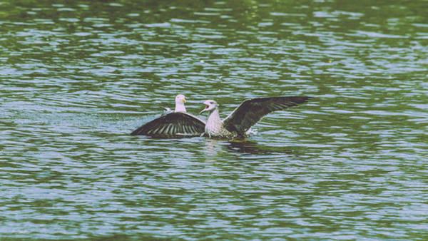 Photograph - Juvenile Seagull In A Water by Jacek Wojnarowski