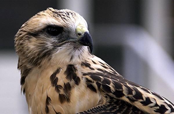Photograph - Juvenile Swainson's Hawk by NaturesPix