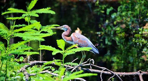 Photograph - Juvenile Tricolored Heron  by Cynthia Guinn