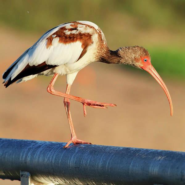 Photograph - Juvenile White Ibis by Carol Montoya