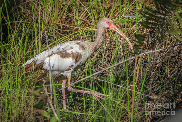 Photograph - Juvenile White Ibis by Tom Claud