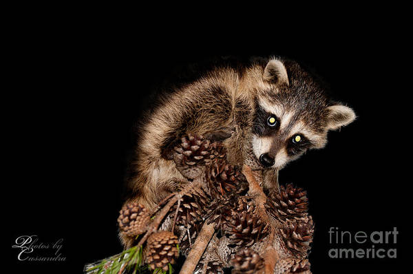 Photograph - Juvenille Racoon by Photos By Cassandra