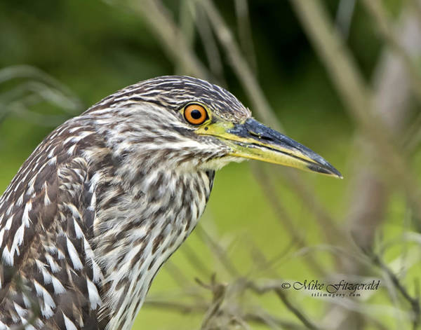 Photograph - Juvi Black-crowned Night Heron by Mike Fitzgerald