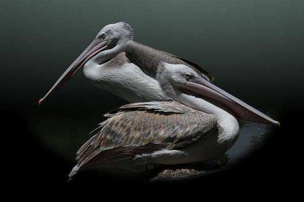 Photograph - Juxtaposition - Pelicans by Debi Dalio