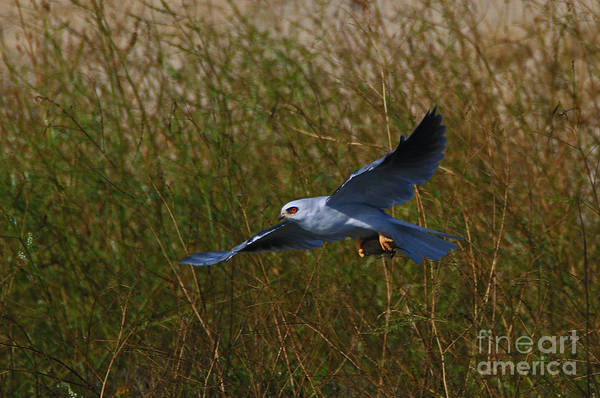 White-tailed Kite Photograph - Flying Kite 2 by Craig Corwin