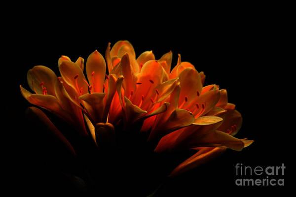 Photograph - Kaffir Lily by James Eddy