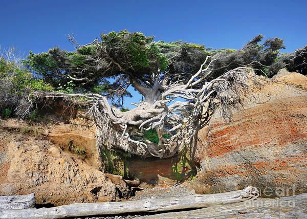 Photograph - Kalaloch Tree Of Life by Martin Konopacki