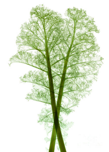 Eudicotyledon Wall Art - Photograph - Kale, Brassica Oleracea, X-ray by Ted Kinsman