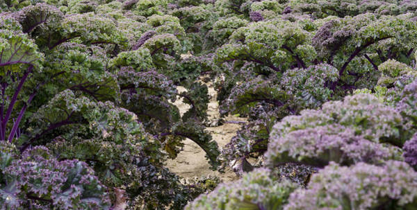 Photograph - Kale Forest by Steven Ralser