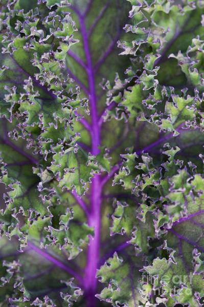 Kale Photograph - Kale Redbor Leaf by Tim Gainey