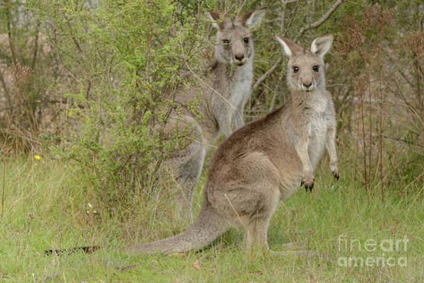 Photograph -  Kangaroo 4 by Werner Padarin